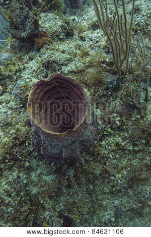 Verongula Gigantea