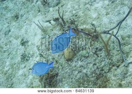 Acanthurus Coeruleus