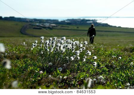 Cotton Grass  On The Tundra Of Chukotka.
