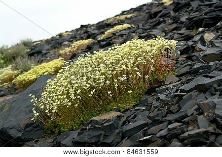 Saxifraga. Saxifrage Flowers In The Tundra  .