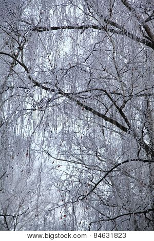Tree Branches Covered With Hoarfrost.