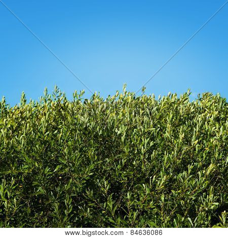 Green Hedge Background Under Blue Sky