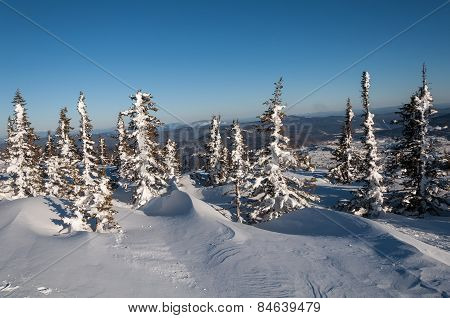 Mountain Spruce Winter