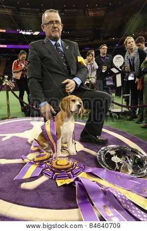 NEW YORK-FEB 17: Miss P, a 15-inch beagle and handler William Alexander after winning Best in Show award at the 139th Annual Westminster Kennel Club Dog Show on February 17, 2015 in New York City.