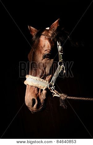 Artistic photo of brown horse head in harness over black background.