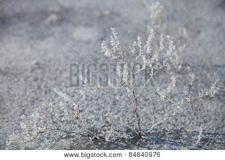 Grass Covered With Hoarfrost.
