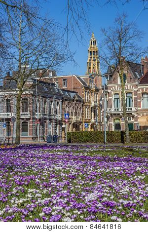 Crocusses, Old Houses And Church Tower In Groningen
