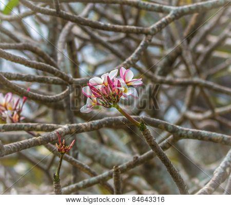 Plumeria Flowers On Branch Background