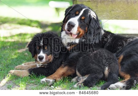 Portrait of two Bernese mountain dogs, outdoors