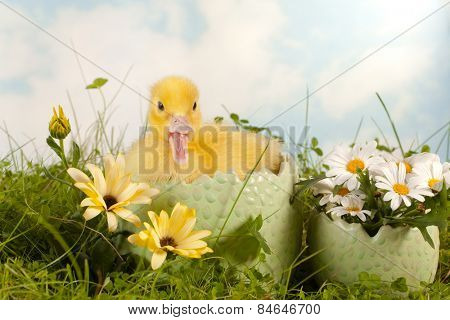 Daisy garden with cute easter duckling in grass