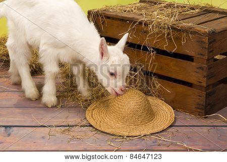 Naughty ten days old baby milk goat eating a straw hat
