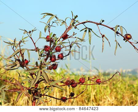 Hibiscus sabdariffa or roselle fruits, used to make Hibiscus tea