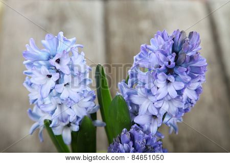Blue Hyacinths In A Pot