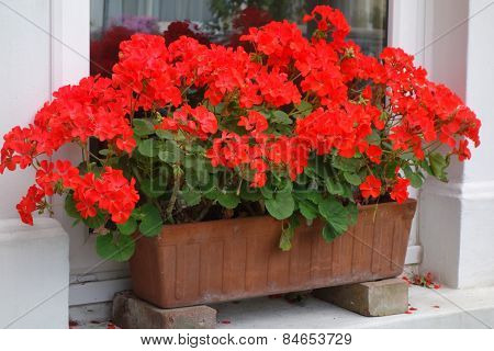 Red Pelargoniums in Window Box