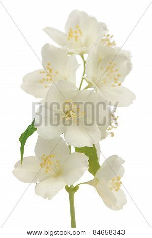 Hoary Mock Orange (Philadelphus Pubescens) Flowers Isolated On White Background