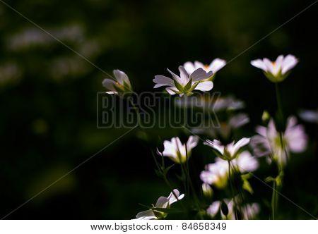 White Wild Flowers - Chickweed