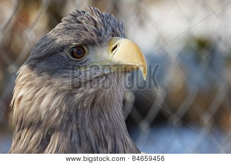 white-tailed eagle with proud look
