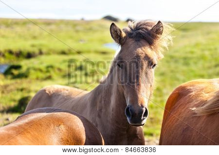 Horses In A Green Field Of Iceland