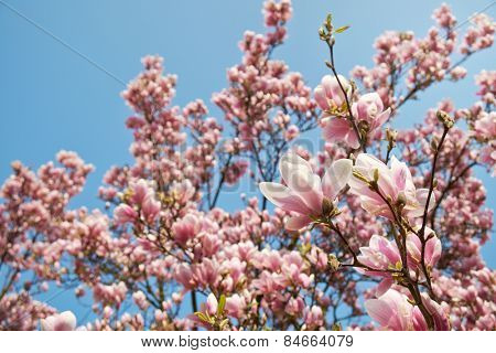 Magnolia tree blossom. Magnolia soulangeana alexandrina