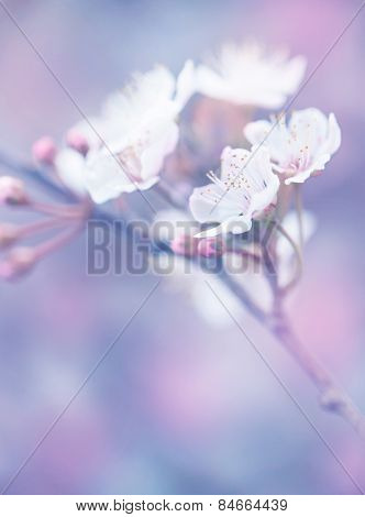 Blooming of Japanese sakura garden, abstract floral background, dreamy natural wallpaper, shallow depth of field, beauty of spring nature