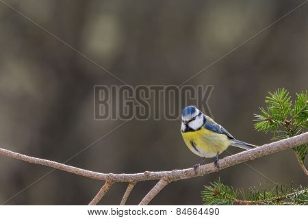 Blue Tit in the Garden on a Branch