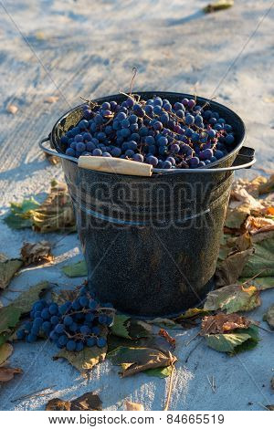 Bucket filled with ripe blue grapes in autumn outdoors.