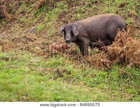 Black Pig And Pink Pigglets In The Meddow