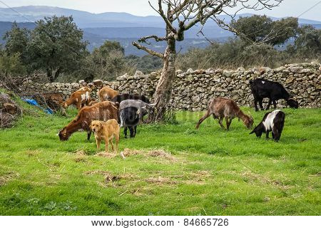 Goats Grazing In The Meadow, Extremadura, Spain