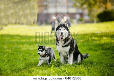 Adult Dog And Puppy. Husky. Summer.