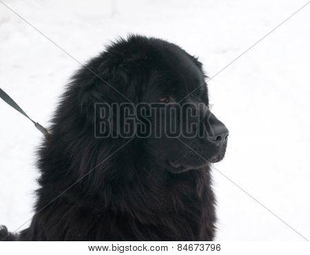Tibetan Mastiff Standing On Snow