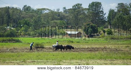 KIMUNYE, KENYA- SEPTEMBER 15, 2014: Unidentified farmers plough a field using oxen in the traditional method in Kenya.