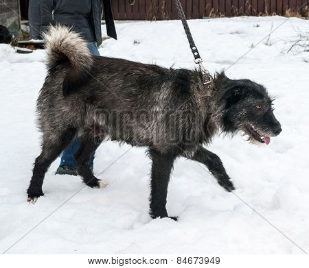 Shaggy Black And Gray Dog Walking On Snow