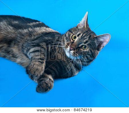 Tabby Kitten Teenager Lying On Blue