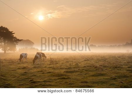 Cows On Misty Pasture At Sunrise