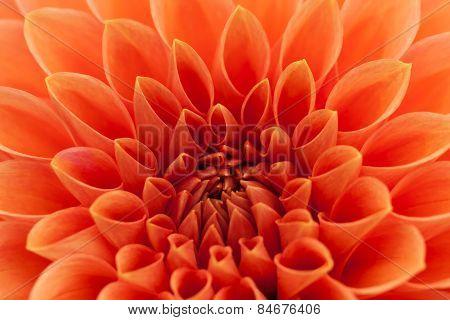 Orange, red dahlia