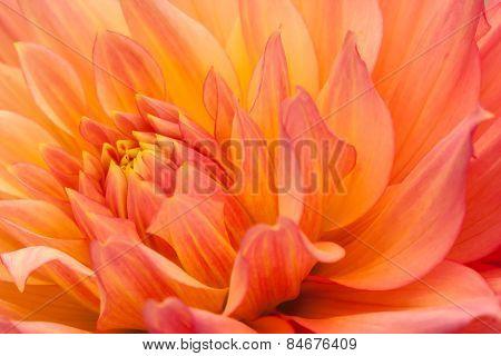 Orange, yellow dahlia