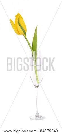 Yellow tulip in glass of water isolated on white