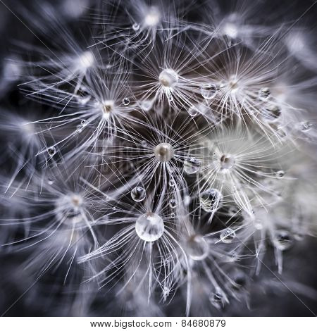 Extreme macro closeup of dandelion seeds over black background with water drops