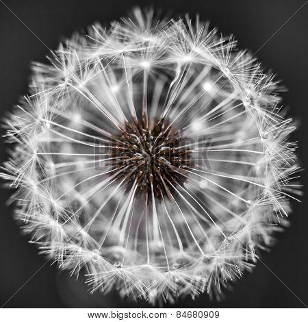 Macro closeup of dandelion seed head over black background