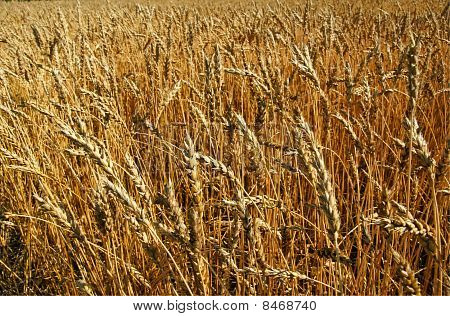 Ripe Wheat Field Background
