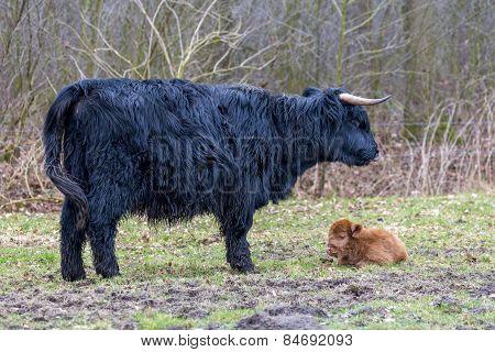 Black mother scottish highlander cow with newborn calf