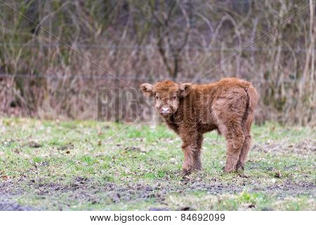 Looking newborn brown scottish highlander calf in meadow