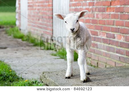 Looking newborn lamb standing near brick wall