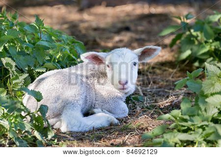 Lying white lamb between nettle plants in meadow