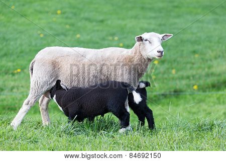 White mother sheep with two drinking black lambs