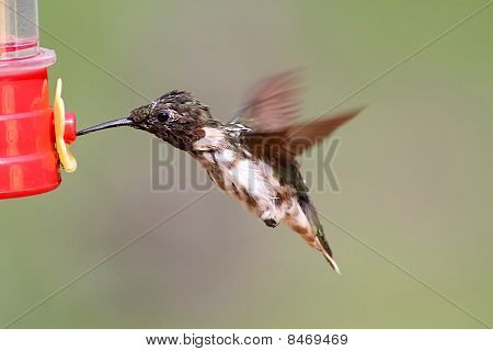Molting Male Ruby-throated Hummingbird