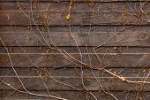 stock photo of creeping  - Closeup texture of creeping plant growing on old wooden fence - JPG