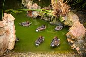 foto of duck pond  - Mallard Ducks relaxing in pond with green water - JPG