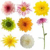 image of chrysanthemum  - Chrysanthemum Flower Isolated on white Collection Set - JPG