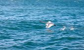 picture of pecker  - white swan flying on a background of blue water